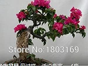 Superior Bougainvillea Seeds Promotion!!! 100pcs Rare Fower Seeds for Garden Home & Garden Flores indoor Plants