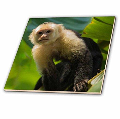 3dRose Danita Delimont - Primates - Costa Rica, monkey, spider monkey, tree - 8 Inch Glass Tile (ct_278324_7)