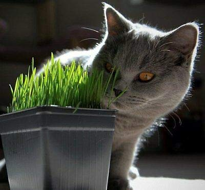 Catgrass (Sweet Oats for Cats) 900 Seeds - Herb#hgs0691 (Cat 900 Seeds)