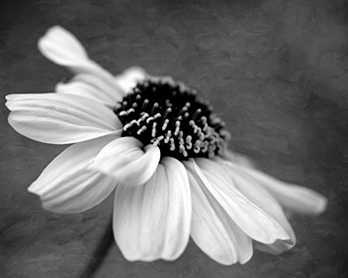 Amazoncom Black And White Daisy Flower Photography Floral Art
