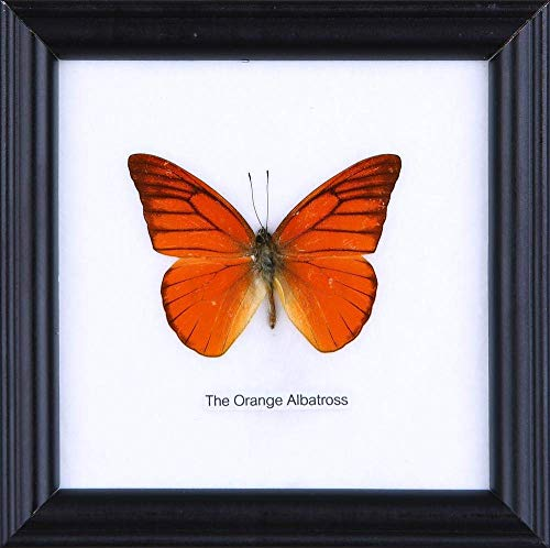 The Orange Albatross Butterfly (Appias nero) | Framed Beautiful Butterfly Wall Decor | Unique Taxidermy Collectables | 4.75 x 4.75 in.