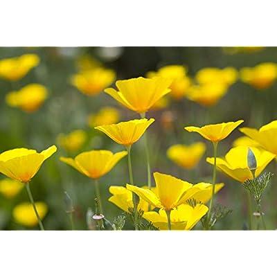 California Poppy Flower Seeds, 2000+ Premium Quality Seeds, 85-90% Germination Rates, Beautiful & Natural Yellow Poppies!, Lovely Flower Addition to Garden, (Isla's Garden Seeds) : Garden & Outdoor
