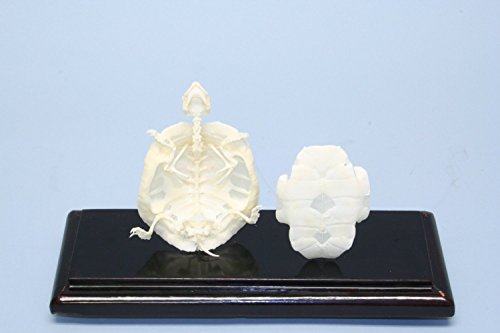 C & A Scientific - Premiere 51005 Real Turtle Skeleton -