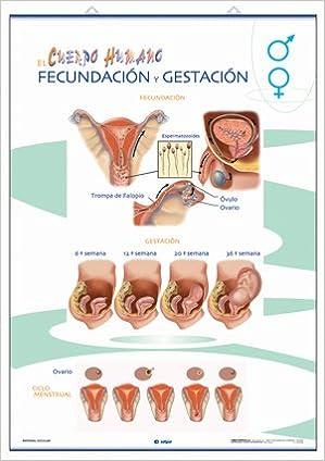 5e516f169 Órganos reproductores   Fecundación y gestación  anatomía infantil Láminas  de Anatomía  Amazon.es  Edigol Ediciones  Libros