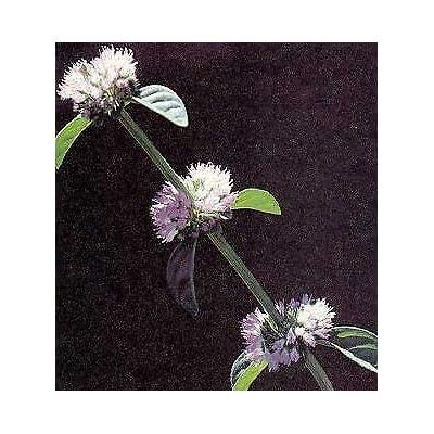 5, 000 Seeds Pennyroyal Mentha pulegium : Garden & Outdoor