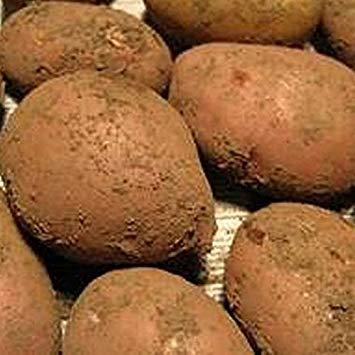 Sycamore Trading Seed Potatoes Sarpo MIRA x 20 Tubers