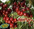 ROYAL LEE CHERRY TREE - 2 Year Old / 4-5 Feet Tall