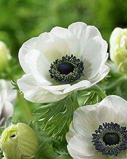 Amazon Com Anemone Bombillas Simples Flores Bonitas Anemonas