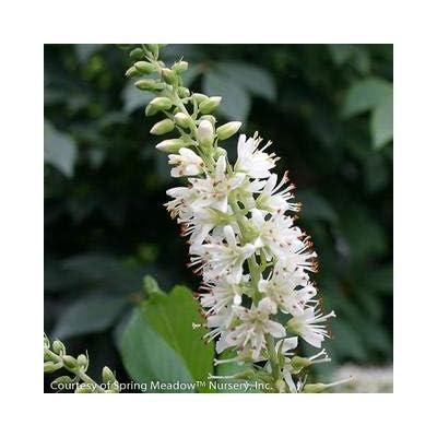 Sugartina Summersweet : Garden & Outdoor