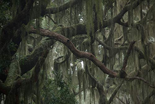 (Trees With Hanging Spanish Moss Photography A-91538 (12x18 Art Print, Wall Decor Travel Poster))