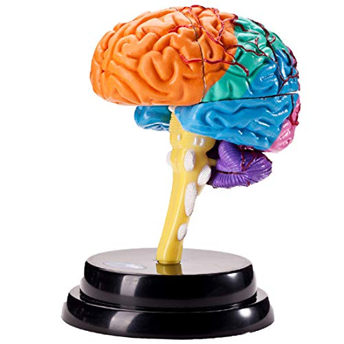 HMANE Brain Structure Model Professional Model Science Teaching Tools Disassembled Anatomy Medical Teaching Learning Tool ()