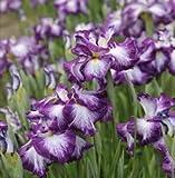 Iris ensata 'Lion King' - Japanese Iris
