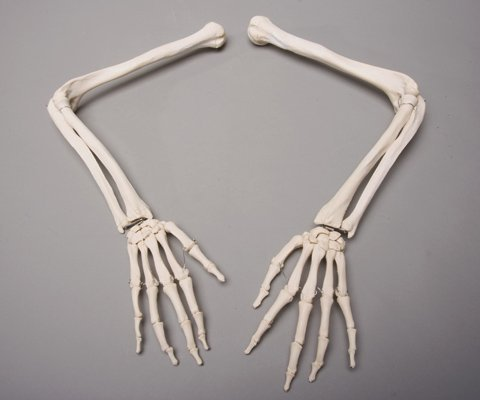 Skeleton Arms- life-size- pair- 2nd class by Skeletons And More