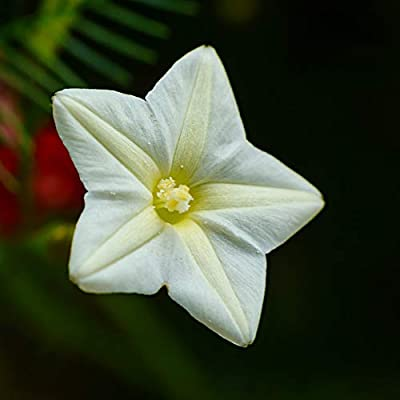 Outsidepride Cypress Vine White - 100 Seeds : Flowering Plants : Garden & Outdoor