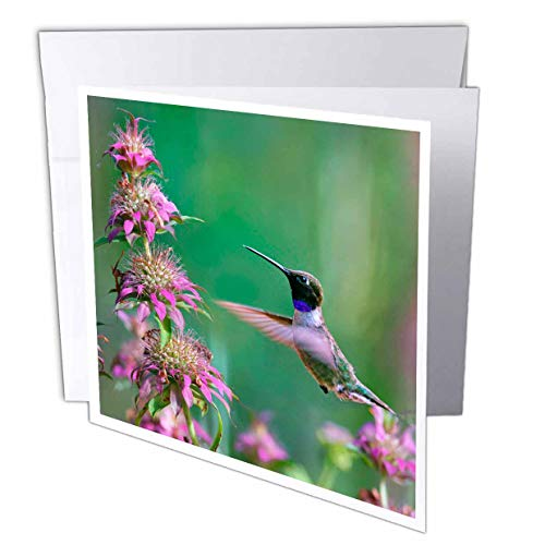 - 3dRose Danita Delimont - Hummingbirds - Black-chinned Hummingbird Male at bee Balm, Texas, USA.  - 6 Greeting Cards with envelopes (gc_315064_1)