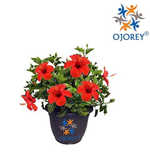 OjOrey Hibiscus Live Plant