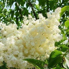 Amazon Com Japanese Lilac Ivory Silk 2 Year Live Tree Tree