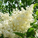 Peking Lilac - Syringa pekinensis - 3-4 Feet Tall Live Tree