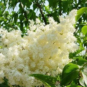 Japanese Lilac Ivory Silk - 2 Year Live Tree ()