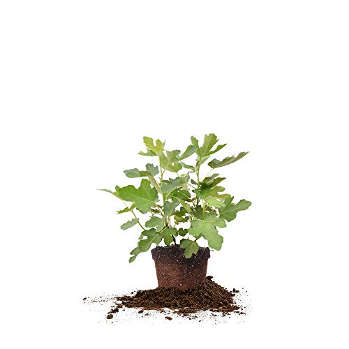 (Perfect Plants Chicago Hardy Fig Tree Live Plant, 3 Gallon, Includes Care)