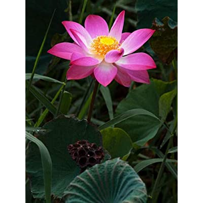 Aquatic Pink Lotus Seeds Container Pond Plants Patio Lawn Garden Plant - 5 PCS : Garden & Outdoor