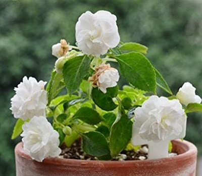 Mr.seeds A Pack 100 Pcs White Camellia Impatiens Seed Balcony Patio Potted Bonsai Flower Seeds Ornamental Flowers Camellia Balsamine Seed