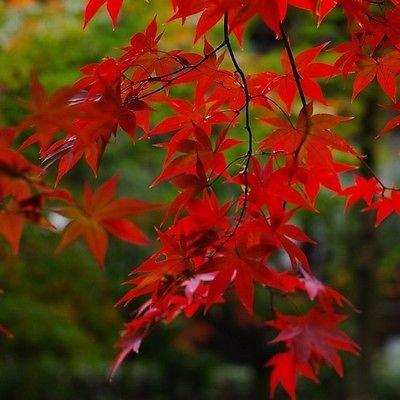 - Red Maple Tree Seeds (ACER rubrum) 15+Seeds