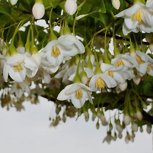 Amazon snowbell japanese small flowering tree white flower snowbell japanese small flowering tree white flower mightylinksfo