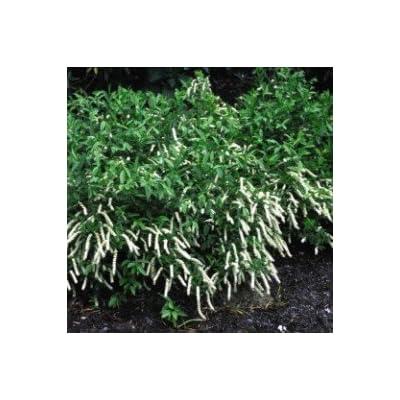 Sweetspire Henry's Garnet > Itea virginica 'Henry's Garnet' >Landscape Ready 2 Gallon Container : Garden & Outdoor