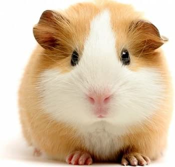 Amazon Com Cu Rong Cute Guinea Pig Art Print On Canvas Wall Decor Poster 20x30 Inches Home Kitchen
