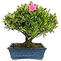 Bonsái Rhododendron Indicum 6 Años Azalea Planta Natural Pequeña Flor de Temporada