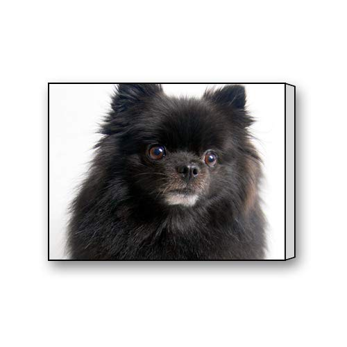 Black and White Pomeranian Dog Custom Canvas Print Personal Photos Print on Canvas Ready to Hang on Your Wall as a Modern Art 10