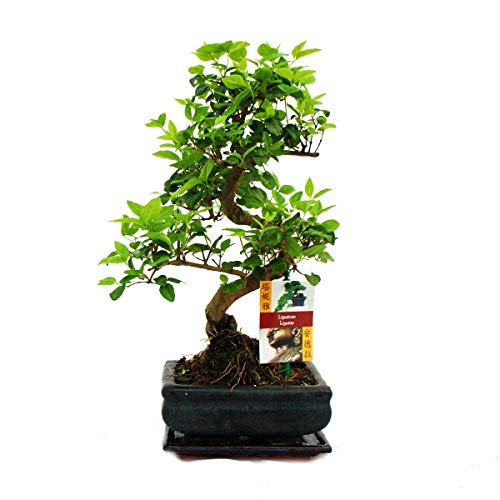 Bonsai Ligustrum 7 yrs Old - 1 Tree