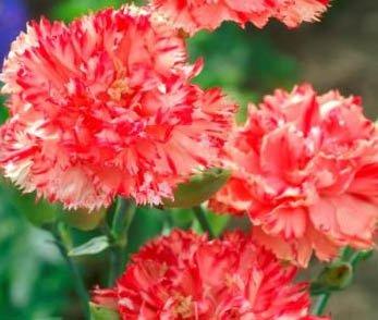 30+ Orange Chabaud Carnation Flower Seeds /Perennial