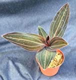 "LUDISIA DISCOLOR, The Jewel Orchid Plant x Shipped in A 2 1/2"" Pot"