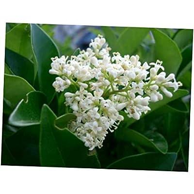CJI 5 Seeds Ligustrum japonicum Japanese Privet Evergreen Shrub - RK37 : Garden & Outdoor