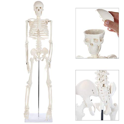 "Anatomy Lab Human Skeleton Model, 34"" Mini Skeleton Replica Mounted to Base for Display, with Removable Skull Cap, Movable Arms and Legs, and Details of Human Bones"