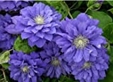 2015 Rushed Chili free Shipping 100pcs Clematis Seeds,clematis Plant Seeds Florida Thunb Flower for Garden Home Bonsai Planting