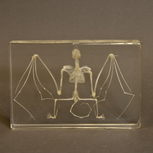 Skeleton Acrylic (Real Bat Skeleton in Acrylic Block)