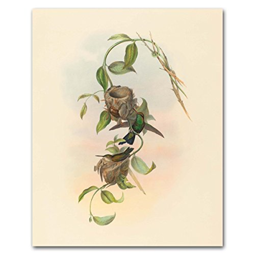 hummingbird-artwork-john-gould-print-1800s-birds-nest-art-antique-home-decor-brazilian-emerald-unfra