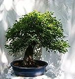 A Beautiful 4.5'' Trunk Trident Maple Bonsai Specimen, 4t3 From Hollow Creek Bonsai