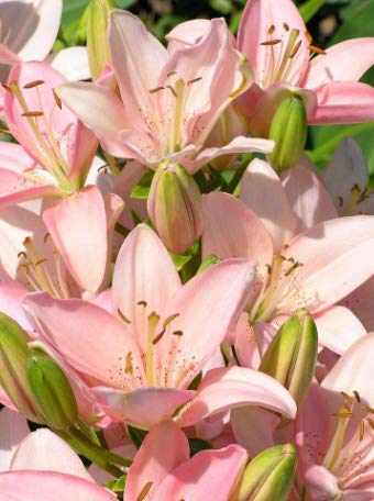 Pink Asiatic Lily Bulbs - 8 Lily Bulbs Very Fragrant Garden Flowers Bonsai Minisacpe Wedding Cut Flowers Bulbs Potted by DearBridal
