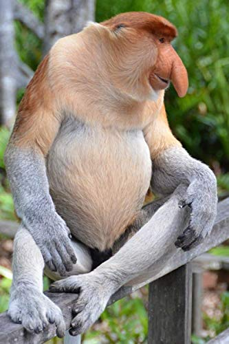 (Proboscis Monkey is Amused Journal: 150 Page Lined Notebook/Diary)