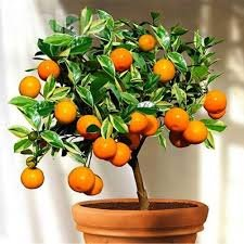10pcs/pack Balcony Patio Potted Fruit Tree Seeds Kumquat Orange Tangerine Citrus (Small) (For Trees Patios Potted Small)