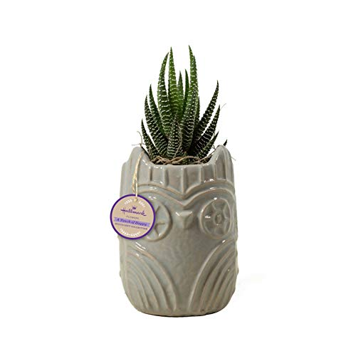 Hallmark Flowers Live Succulent in 3'' Grey Owl Ceramic Container by Hallmark Flowers (Image #3)