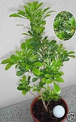 Amazon com : Aglaia odorata Chinese Rice Flower Shrub