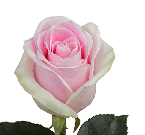 Bulk Light Pink-White Roses - Rosita Vendela 100 stems (22 inch) by BloomsyBox