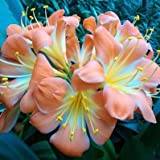 GUGUTREE Party 1PCS Medium Flower Real Bowl clivia pots Bonsai Garden Blooming Plants Happy Farm HMJ-16 - (Color: 9)