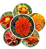 Promotion! 100pcs/pack tagetes patula Seeds Perennial 8 Colors Flower Seeds Bonsai Seeds Garden Plant Flowers