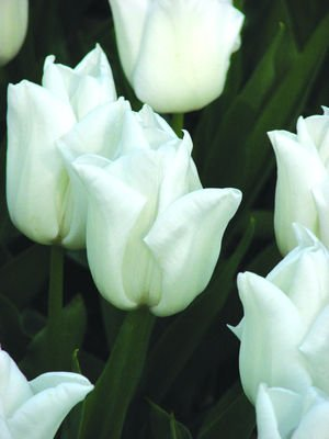 25 Quality Tulip Bulbs - Kiwanis (White) - Imported from Holland